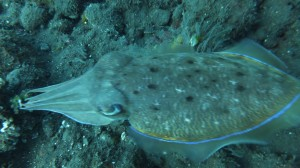 As are cuttle fish