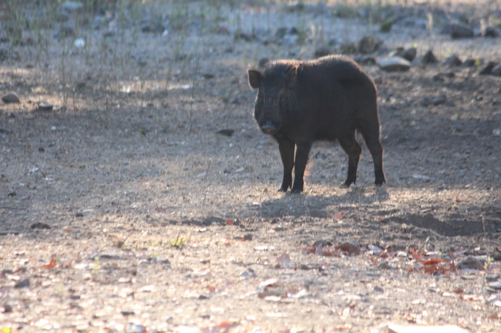Wild Pigs roam the islands, fresh meat for the Komodos