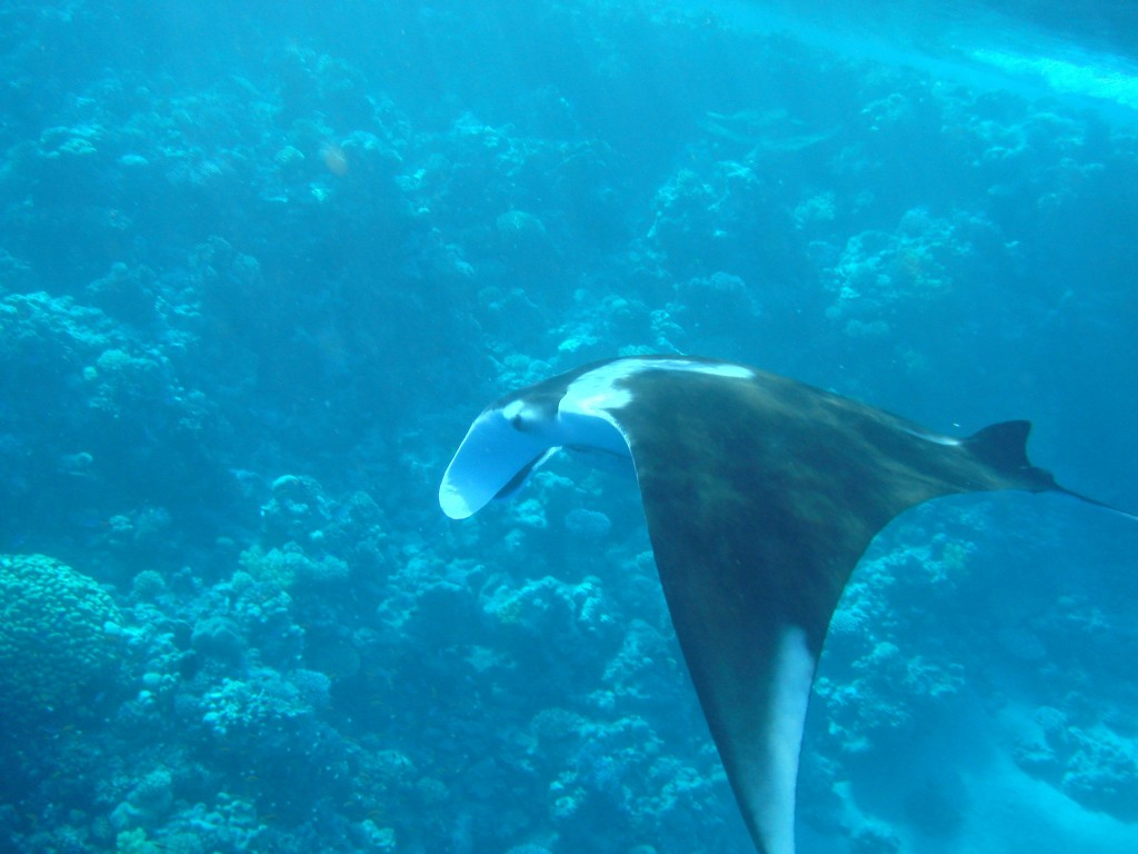 manta at surface